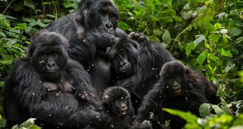 140124_gorillas1