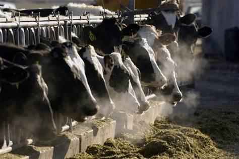 cow burping